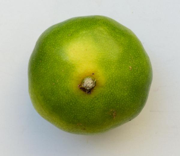 Citrus x unshiu (Makino) Marcow. 'Satsuma Miyagawa'