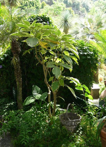 Brugmansia 'Variegata'