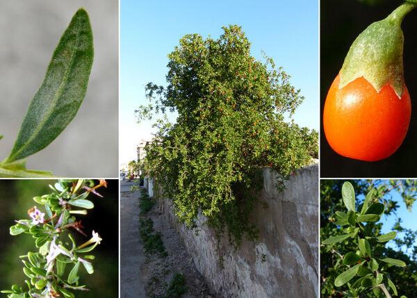 Lycium intricatum Boiss. subsp. intricatum