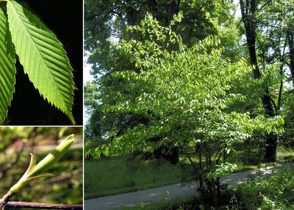 Acer carpinifolium Siebold & Zucc.