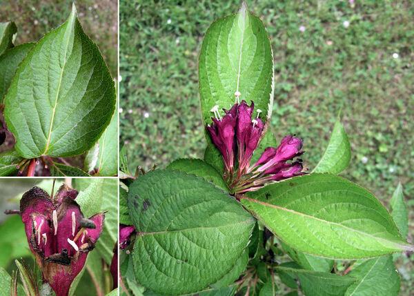 Weigela floribunda (Sieb. & Zucc.) K. Koch