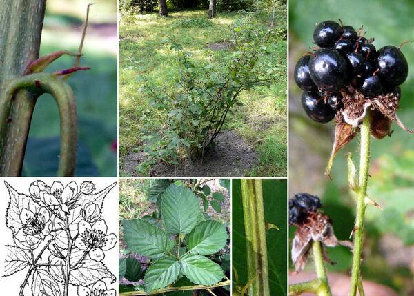 Rubus sulcatus Vest