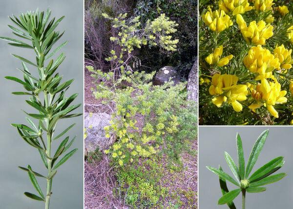 Genista linifolia L.