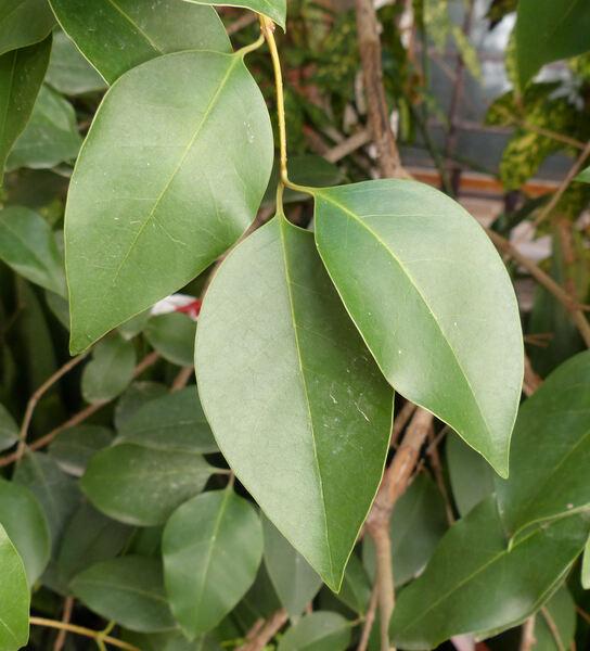 Ligustrum lucidum W.T.Aiton