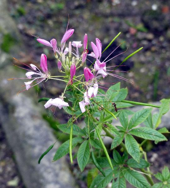 Tarenaya spinosa (Jacq.) Raf.
