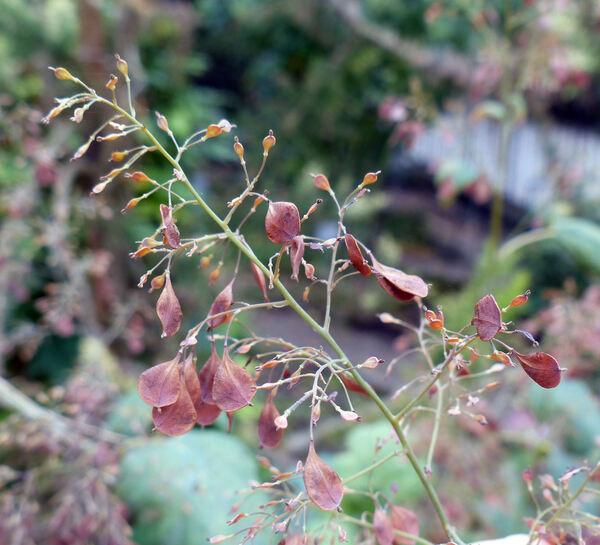 Macleaya cordata (Willd.) R. Br.