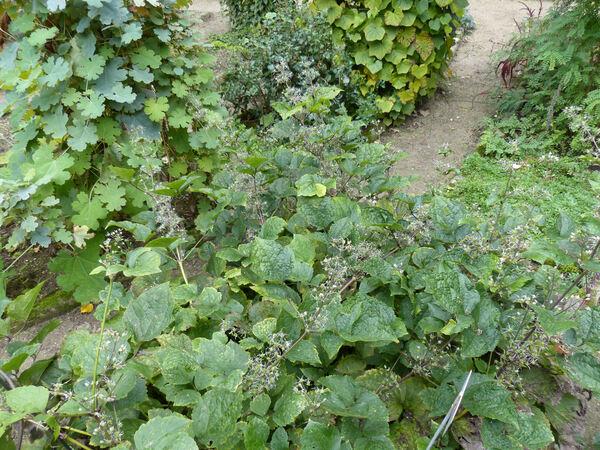 Clematis heracleifolia DC.