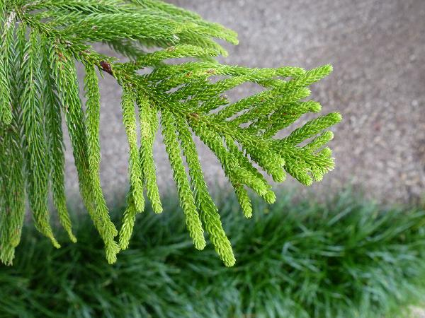 Araucaria heterophylla (Salisb.) Franco
