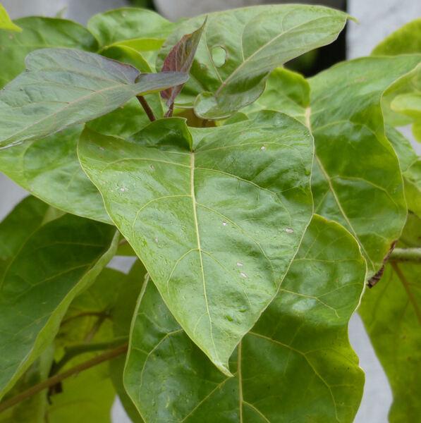 Cyphomandra betacea (Cav.) Sendtn.
