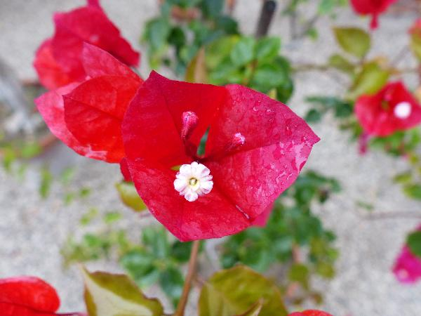 Bougainvillea x buttiana hort. 'Red Diamond'