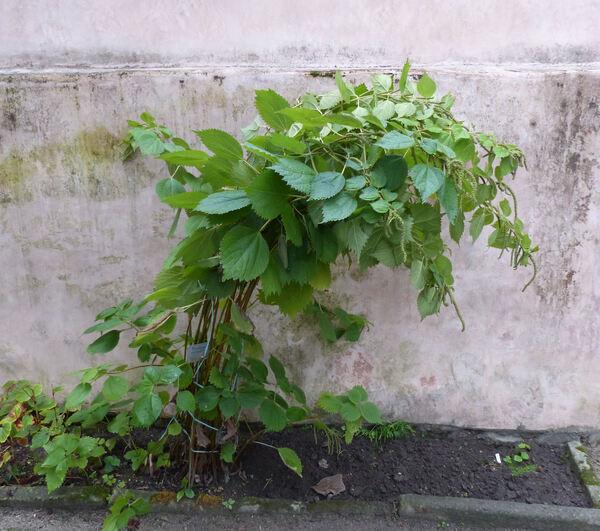 Boehmeria cylindrica (L.) Sw.