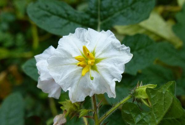 Solanum sisymbriifolium Lam.