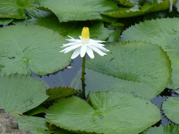 Nymphaea lotus L.