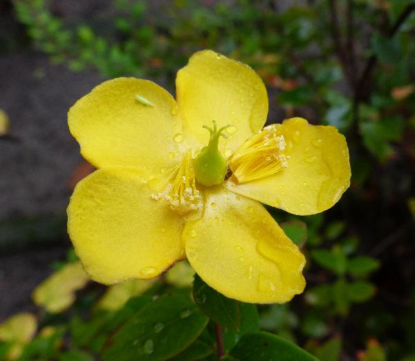 Hypericum hookerianum Wight & Arn.