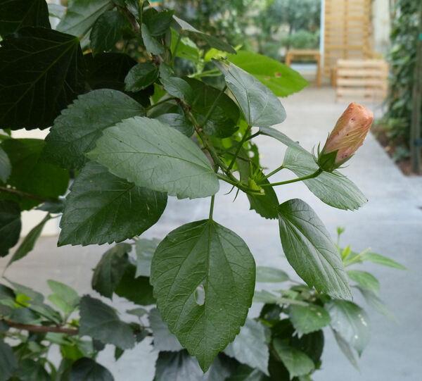 Hibiscus rosa-sinensis L. 'Flore Pleno'
