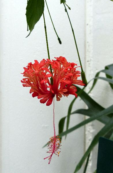 Hibiscus schizopetalus (Mast.) Hook.f.