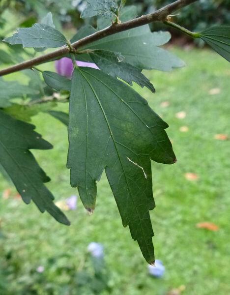 Hibiscus syriacus L. 'Flore Pleno'