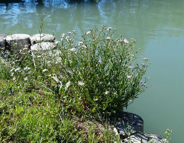 Galatella pannonica (Jacq.) Galasso, Bartolucci & Ardenghi subsp. pannonica