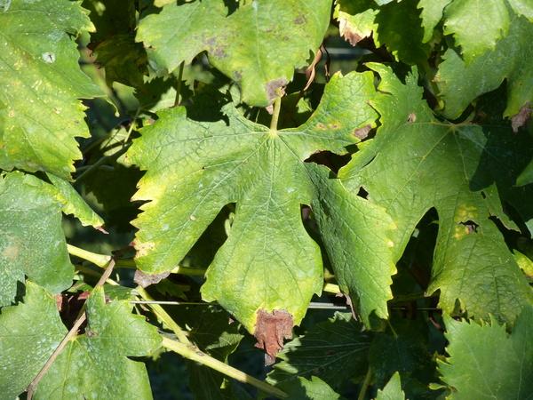 Vitis vinifera L. 'Dorona'