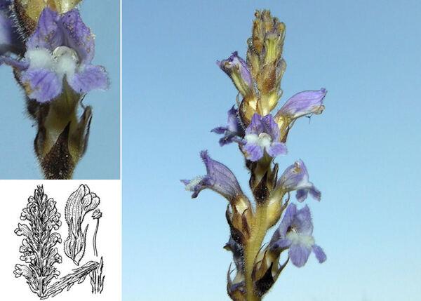 Phelipanche arenaria (Borkh.) Pomel