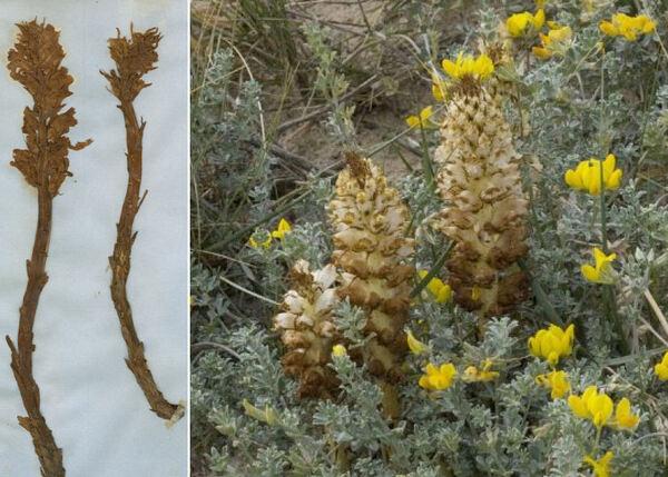 Orobanche densiflora Salzm. ex Bertol.