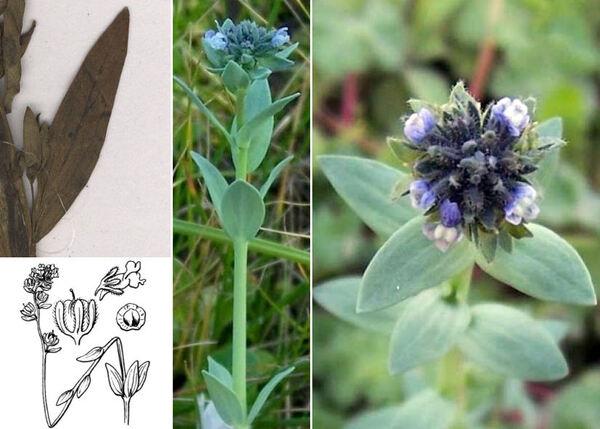 Linaria micrantha (Cav.) Hoffmanns. & Link