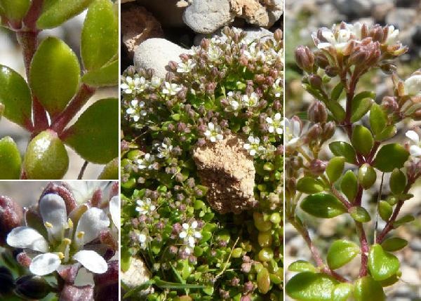 Polycarpon tetraphyllum (L.) L. subsp. polycarpoides (Biv.) Iamonico