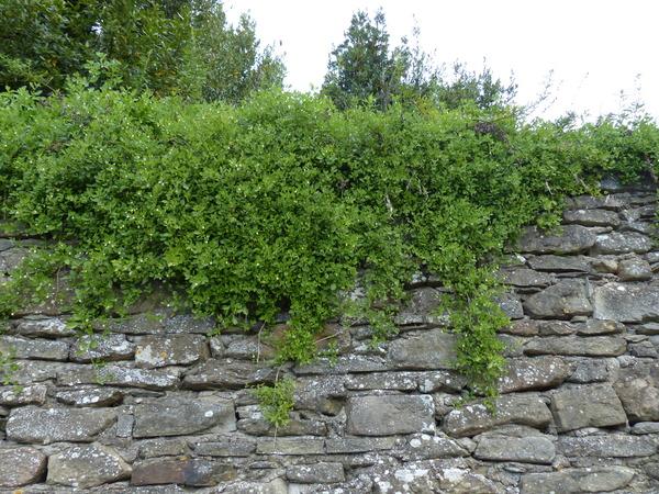 Salpichroa origanifolia (Lam.) Baill.