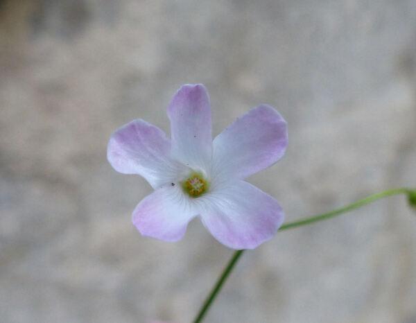 Oxalis sp.