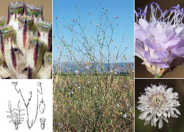 Cephalaria transsylvanica (L.) Roem. & Schult.