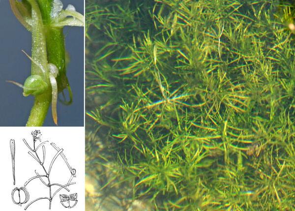 Callitriche brutia Petagna var. hamulata (Kütz. ex W.D.J. Koch) Lansdown