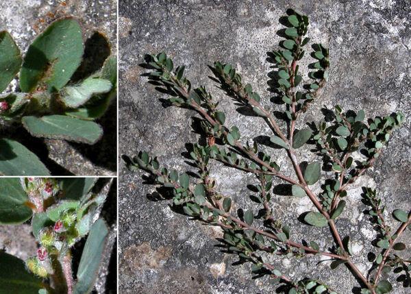 Euphorbia chamaesyce L.
