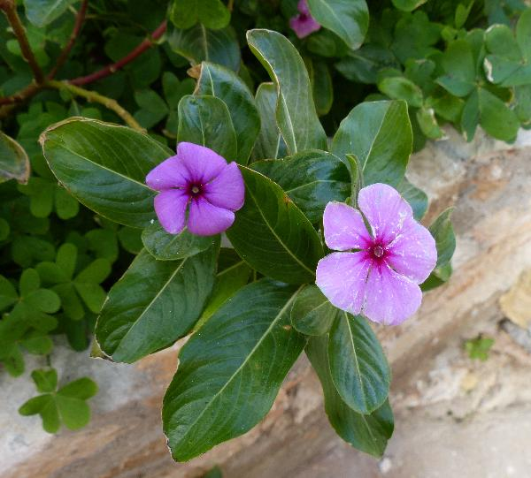 Catharanthus roseus (L.) G.Don