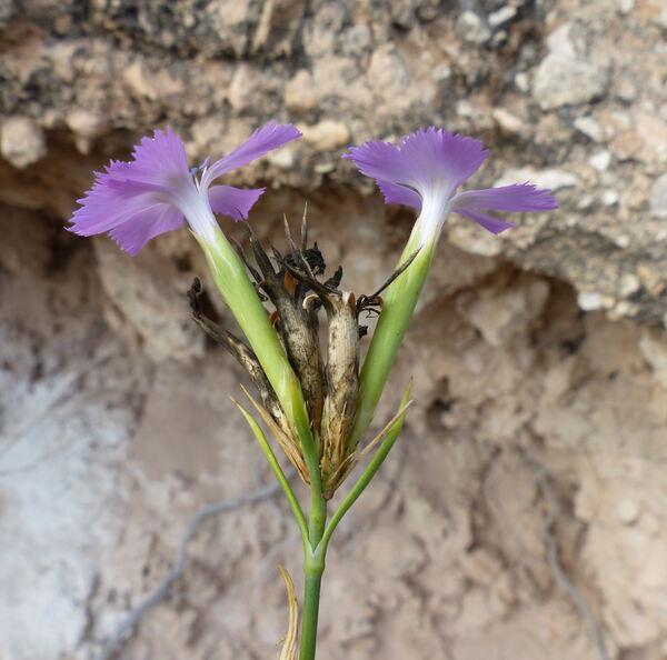 Dianthus rupicola Biv. subsp. rupicola