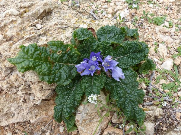 Mandragora autumnalis Bertol.