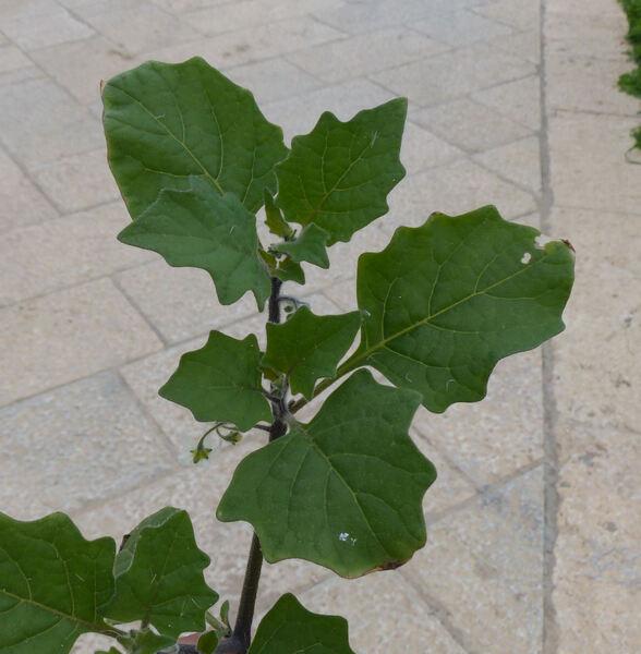 Solanum nigrum L. subsp. schultesii (Opiz) Wessley