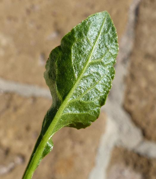 Beta vulgaris L. subsp. maritima (L.) Arcang.