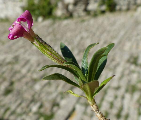 Silene fruticosa L.