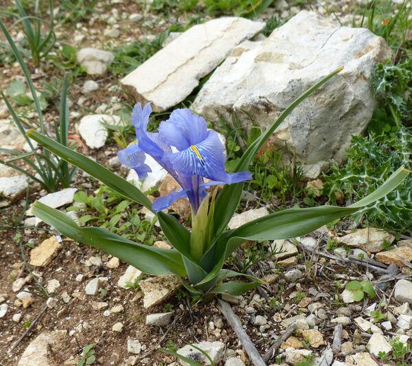 Juno planifolia (Mill.) Asch.