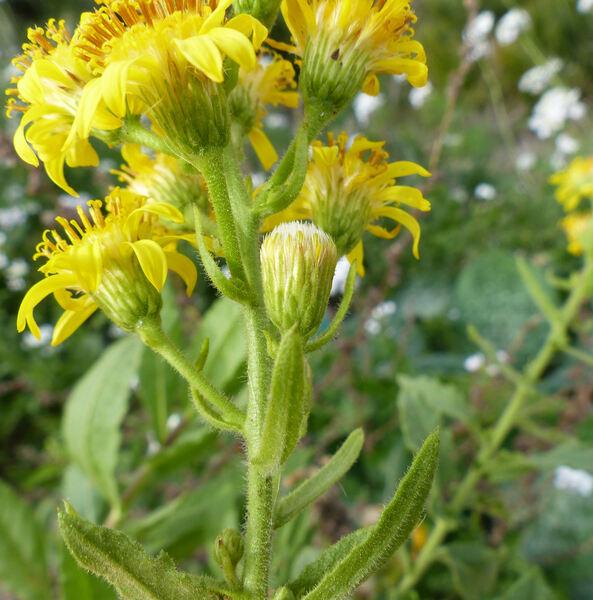Dittrichia viscosa (L.) Greuter subsp. viscosa