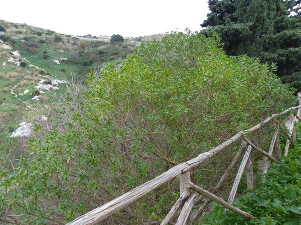 Myoporum insulare R.Br.