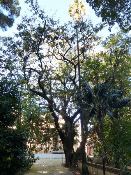 Ficus laurifolia Lam..
