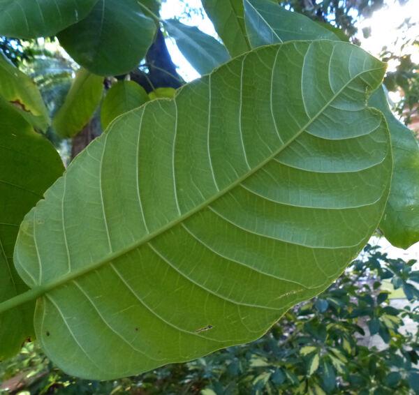 Ficus copiosa Steud.