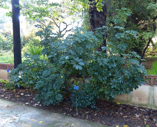 Schefflera heptaphylla (L.) Frodin