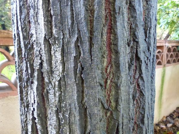 Tilia americana L.