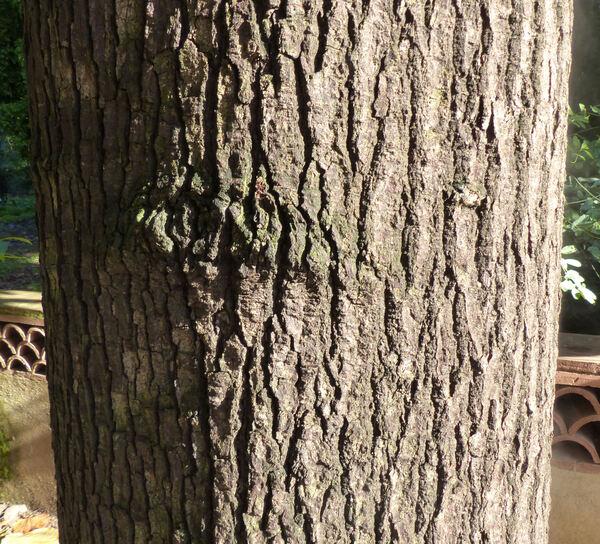 Brachychiton acerifolius A.Cunn. ex F.J. Muell.