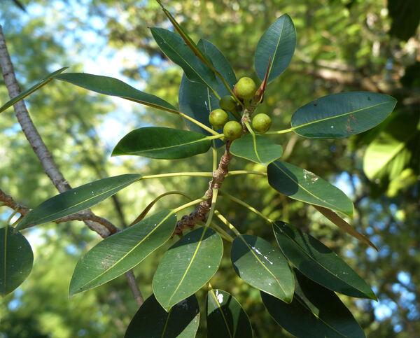 Ficus macrophylla Pers. subsp. columnaris (C.Moore) P.S.Geen