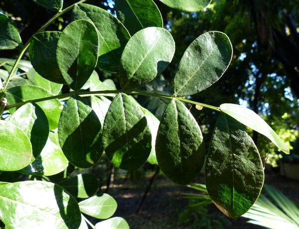 Sophora secundiflora (Ortega) Lag. ex DC.