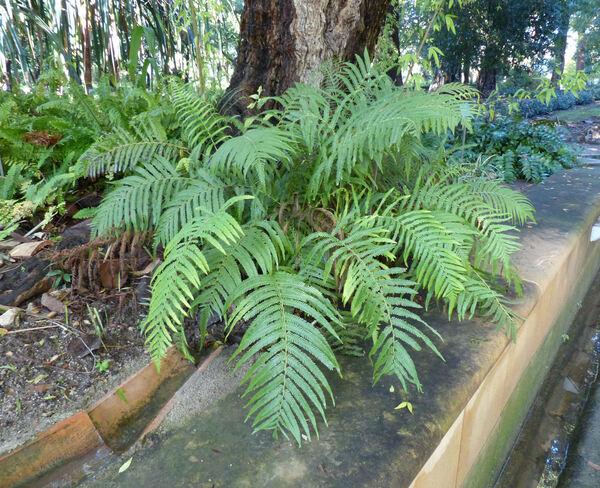 Hypolepis tenuifolia (G. Forst.) Bernh.