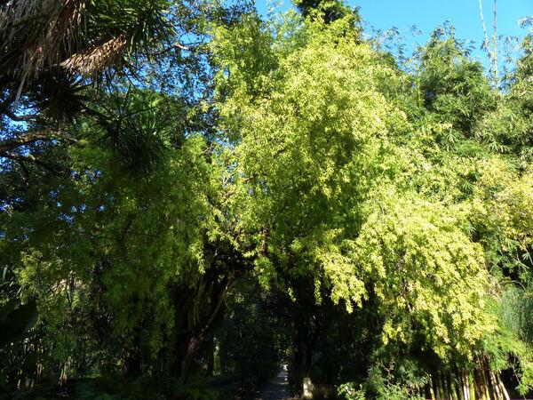 Searsia gerrardii (Engl.) Moffett